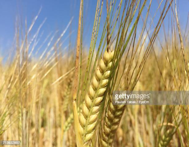 close-up of wheat growing in field - paulien tabak stock-fotos und bilder