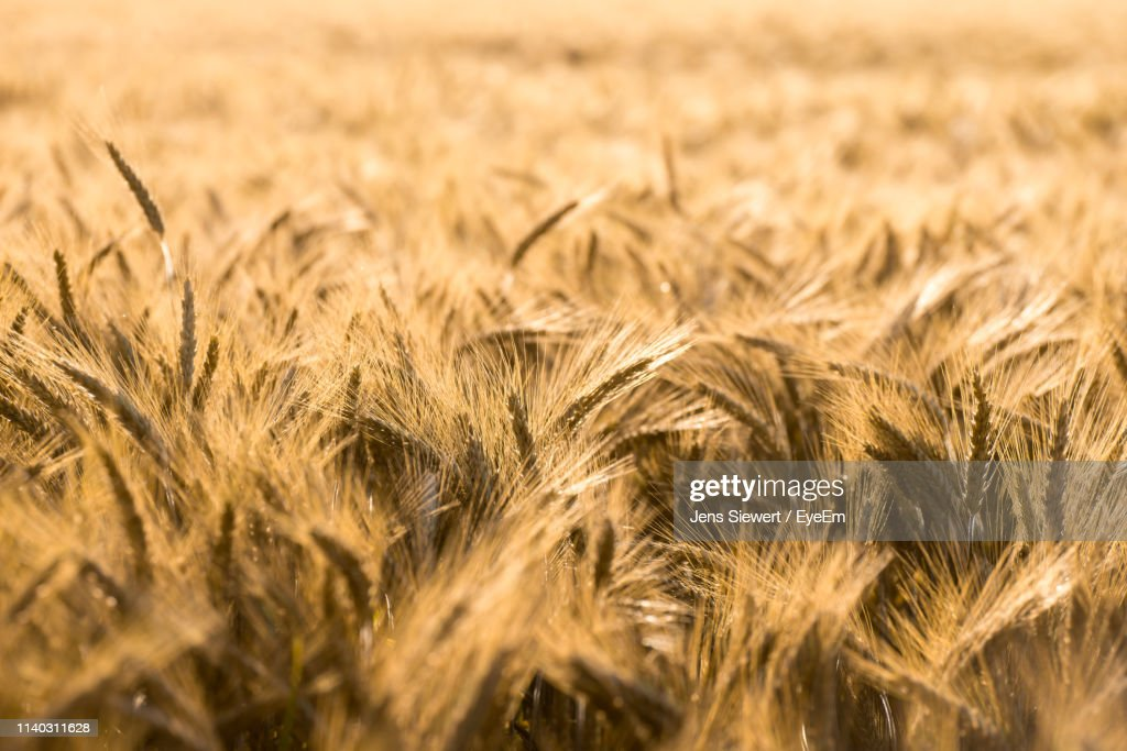 Close-Up Of Wheat Growing On Agricultural Field : Stock-Foto