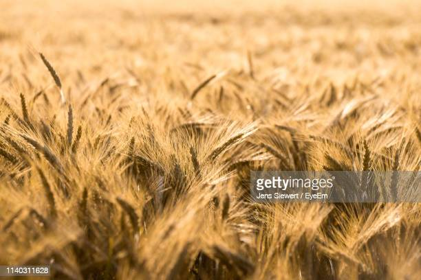 close-up of wheat growing on agricultural field - jens siewert stock-fotos und bilder