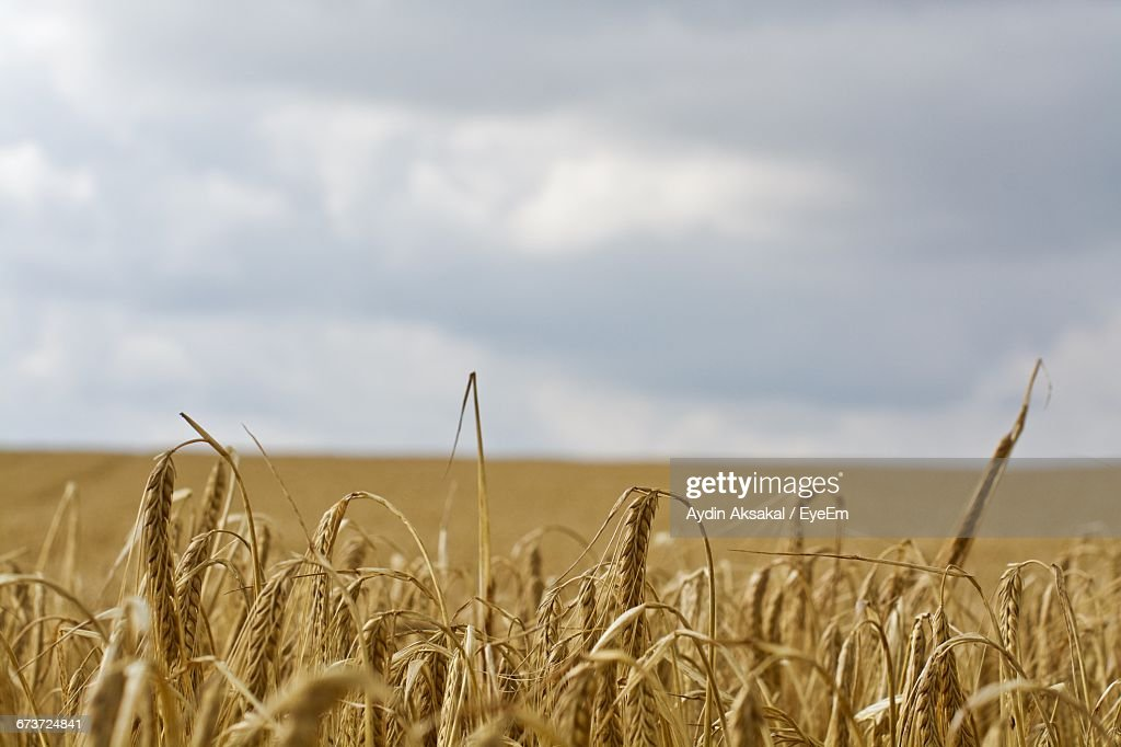 Close-Up Of Wheat Growing On Farm Against Cloudy Sky : Stock Photo