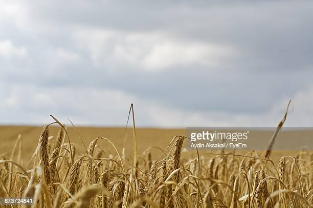 Close-Up Of Wheat Growing On Farm Against Cloudy Sky