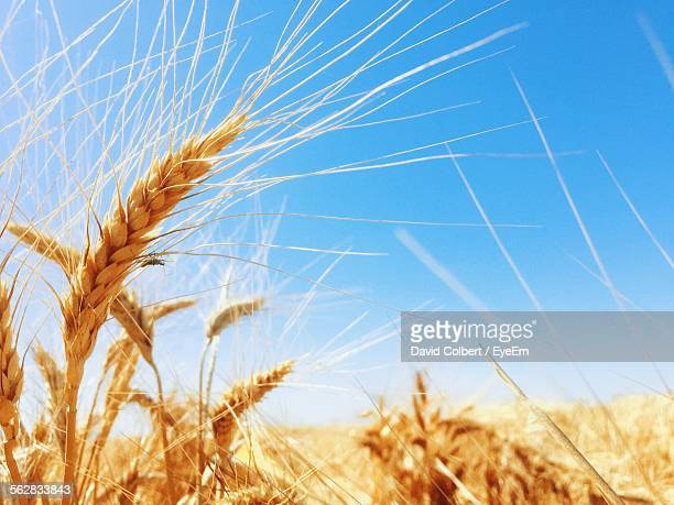 Close-Up Of Wheat Growing On Field Against Clear Blue Sky