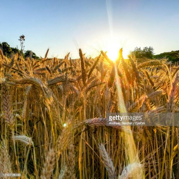 close-up of wheat growing on field against sky - andreas solar stock pictures, royalty-free photos & images