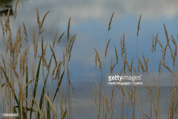close-up of wheat growing on field against sky - county fermanagh stock photos and pictures