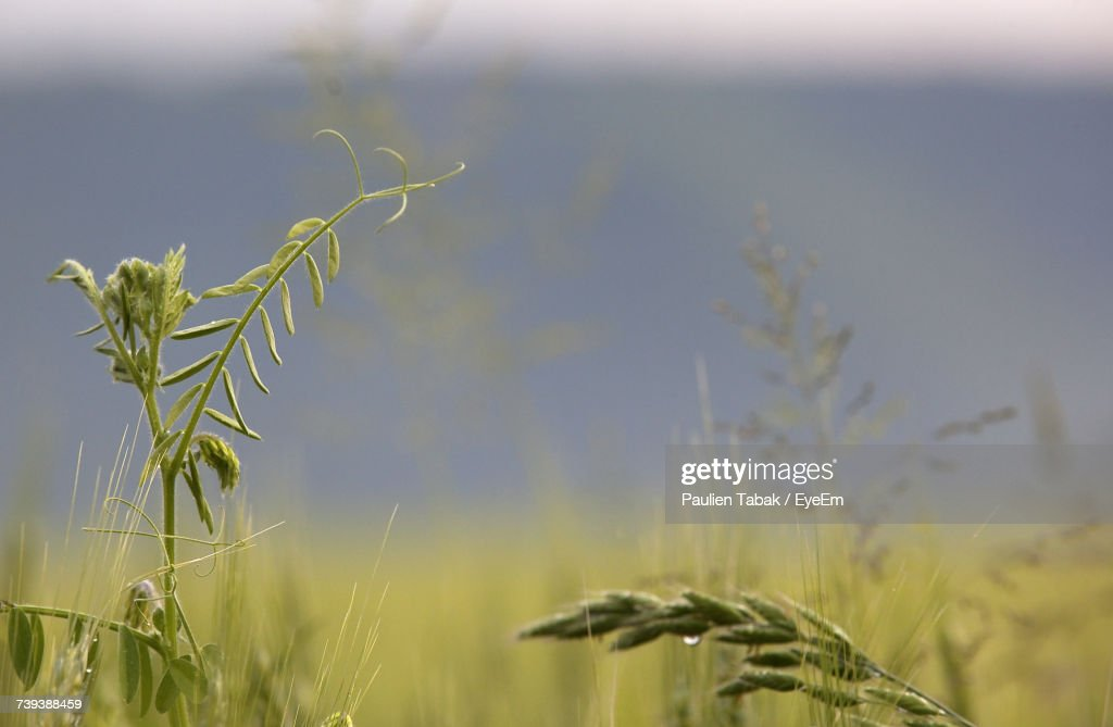 Close-Up Of Wheat Growing On Field Against Sky : Stockfoto