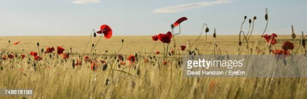 close-up of wheat growing on field against sky - poppy stock pictures, royalty-free photos & images
