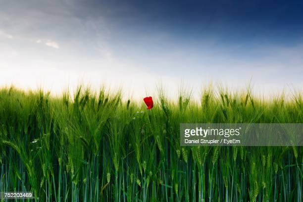 Close-Up Of Wheat Growing On Field Against Sky