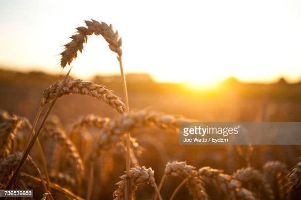 close-up of wheat growing on field during sunset - wheat grain stock photos and pictures