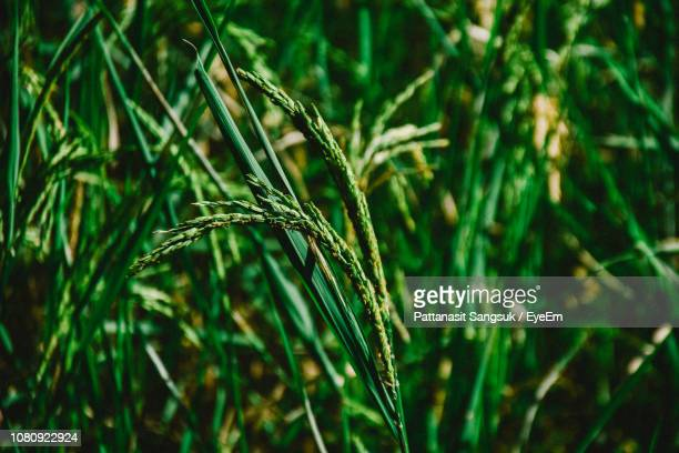 close-up of wheat growing on field - pattanasit stock pictures, royalty-free photos & images