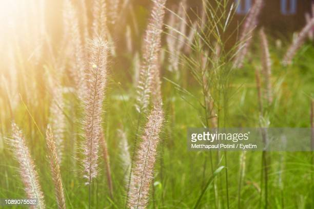 close-up of wheat growing on field - metthapaul stock photos and pictures