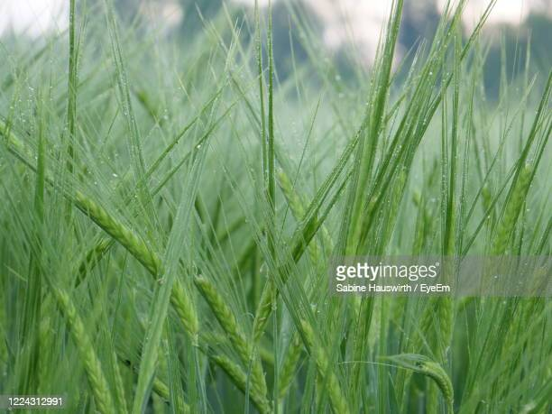 close-up of wheat growing on field - sabine hauswirth stock pictures, royalty-free photos & images