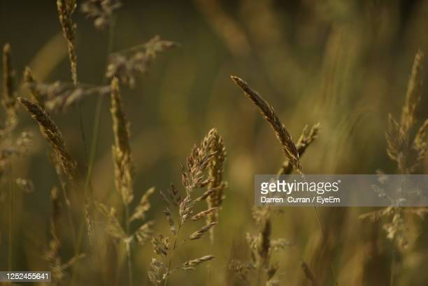 close-up of wheat growing on field - curran stock pictures, royalty-free photos & images