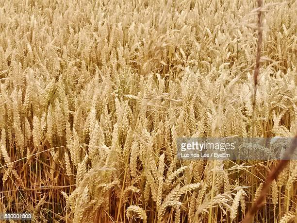 close-up of wheat growing on field - lucinda lee stock photos and pictures