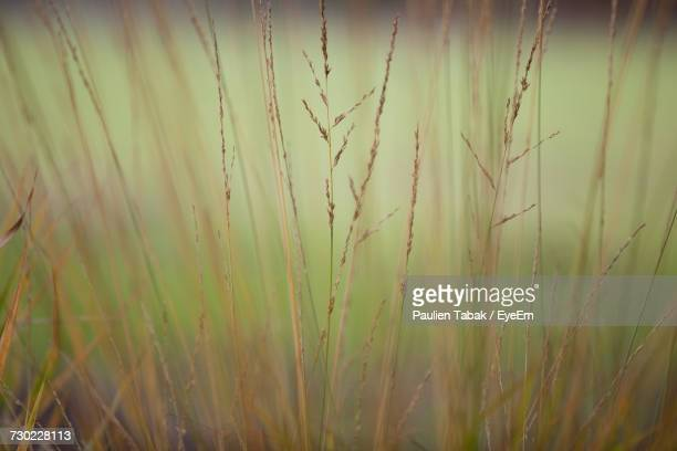 close-up of wheat growing on field - paulien tabak foto e immagini stock