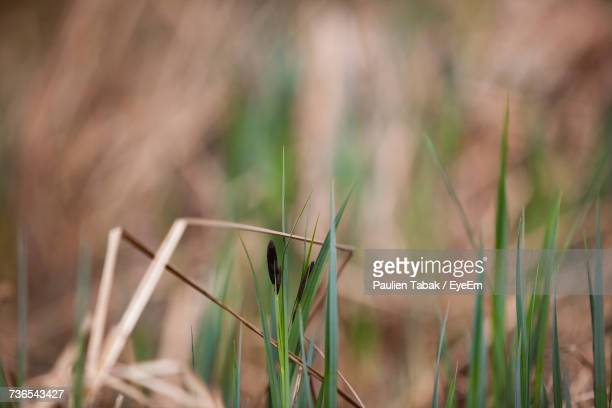 close-up of wheat growing on field - paulien tabak stock pictures, royalty-free photos & images