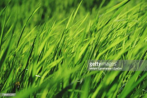 close-up of wheat growing on field - cammarata stock photos and pictures