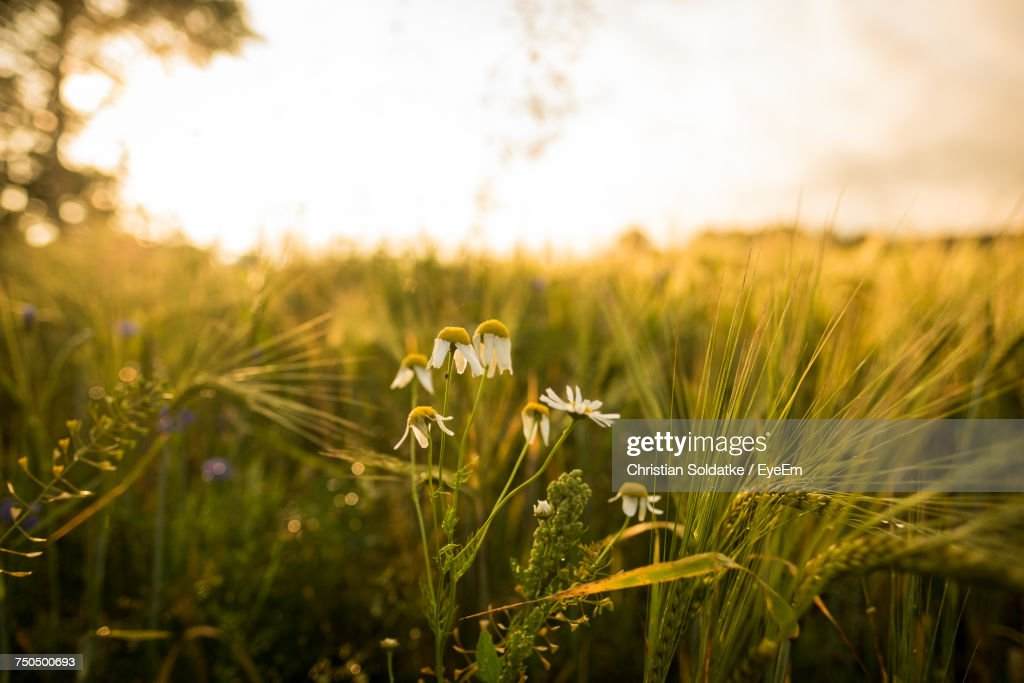 Close-Up Of Wheat Growing On Field : Stock-Foto