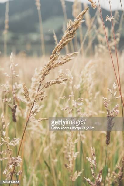 close-up of wheat growing on field - carvajal ストックフォトと画像