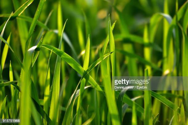 close-up of wheat growing on field - blade of grass stock pictures, royalty-free photos & images