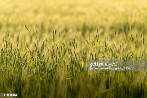 close-up of wheat growing on field,chandigarh,india - chandigarh stock pictures, royalty-free photos & images