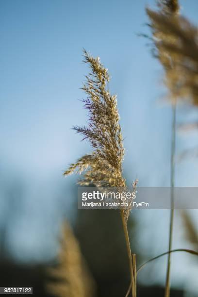 close-up of wheat plant against sky - marijana stock pictures, royalty-free photos & images