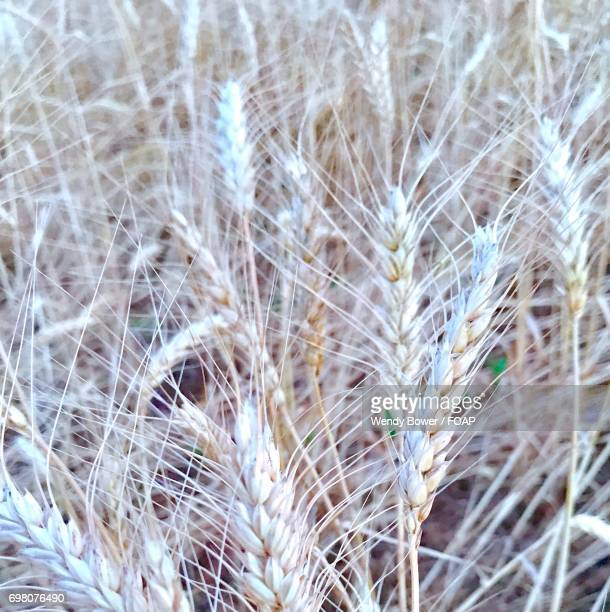 Close-up of wheat plant in field