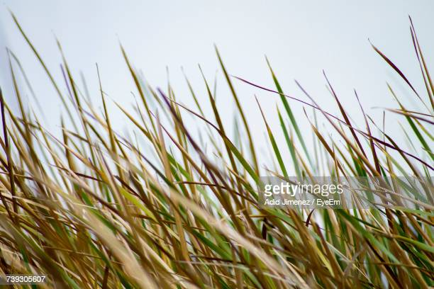 Close-Up Of Wheat Plants On Field Against Sky