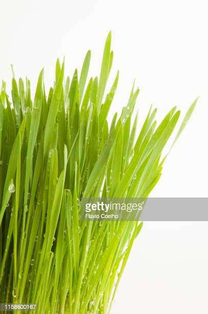 Close-up of wheatgrass wetted leaves