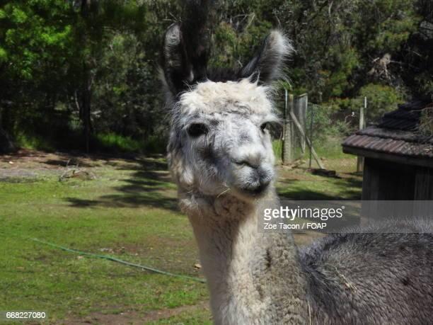 close-up of white alpaca - ワガワガ ストックフォトと画像