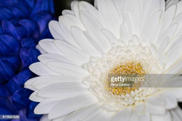 close-up of white and blue flowers - alma danison imagens e fotografias de stock