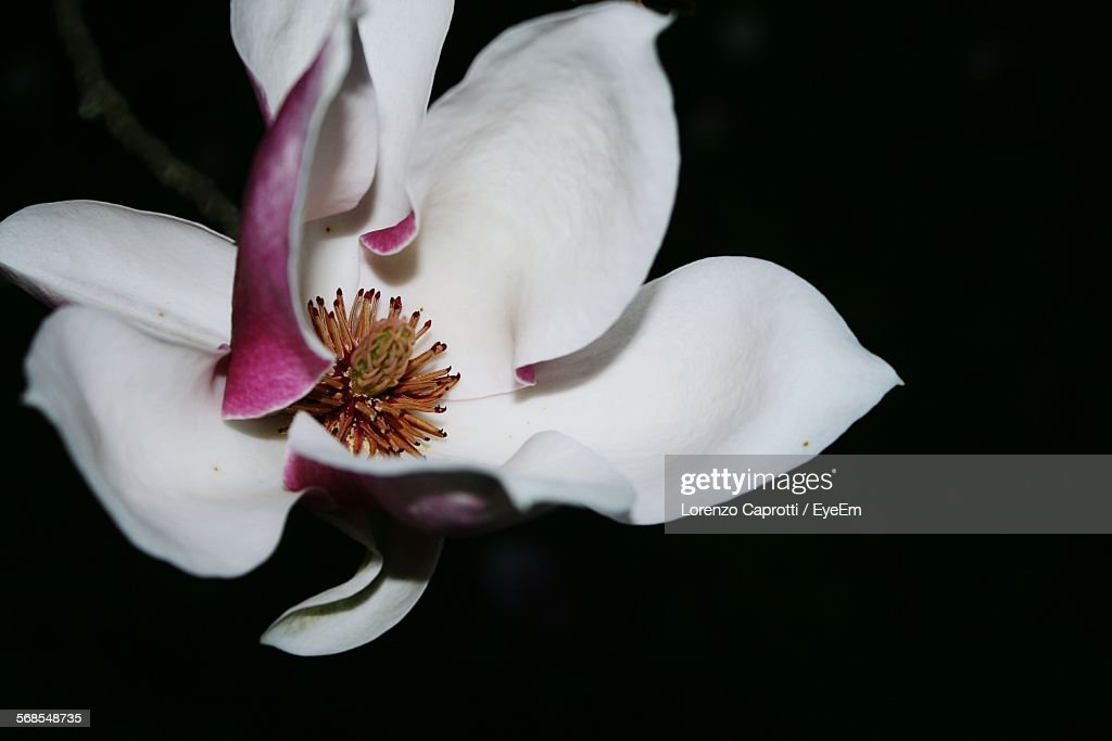 Close-Up Of White And Pink Flower Blooming At Night : Foto de stock