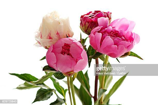 close-up of white and pink peonies against white background - peony stock pictures, royalty-free photos & images