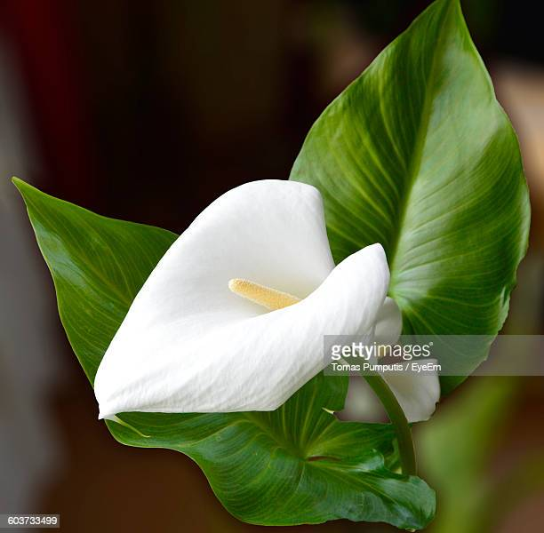 Close-Up Of White Anthurium Blooming Outdoors