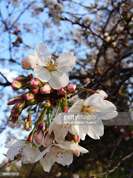 close-up of white blossom in spring - arnault stock pictures, royalty-free photos & images