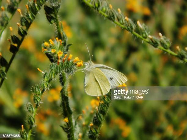 Close-up of white butterfly on yellow flower