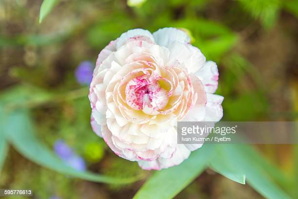 Close-Up Of White Carnation Flower Blooming Outdoors