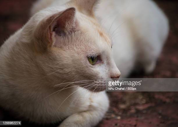 close-up of white cat - chandigarh stock pictures, royalty-free photos & images