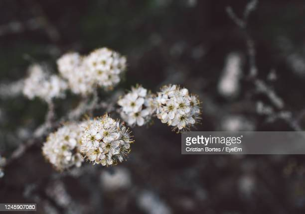 close-up of white cherry blossom - bortes stock pictures, royalty-free photos & images