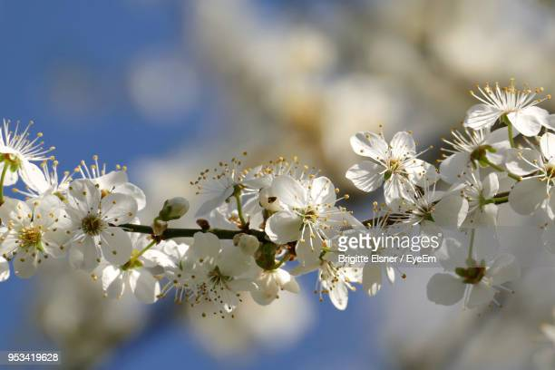 close-up of white cherry blossom plant - erlangen stock photos and pictures