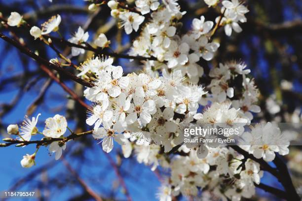 close-up of white cherry blossom tree - brixton stock pictures, royalty-free photos & images