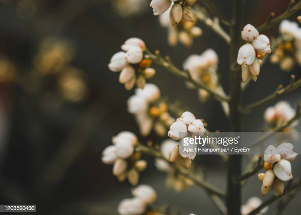 close-up of white cherry blossom tree - apisit hiranpornpan stock pictures, royalty-free photos & images