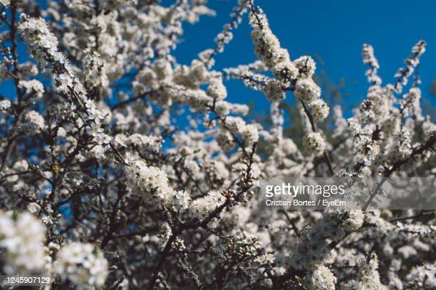 close-up of white cherry blossom tree - bortes stock pictures, royalty-free photos & images