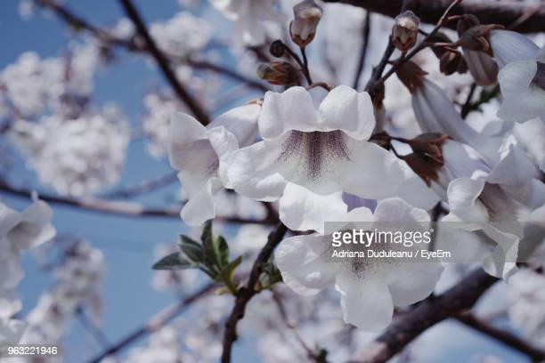 close-up of white cherry blossom tree - adriana duduleanu stock photos and pictures