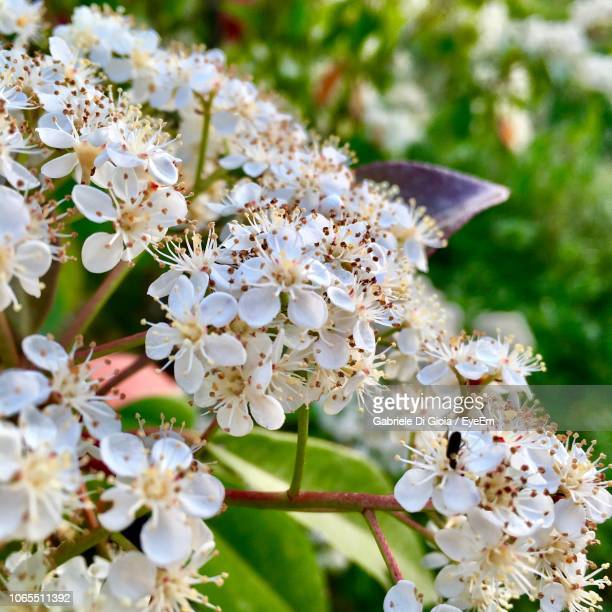 close-up of white cherry blossoms in spring - castel del monte foto e immagini stock