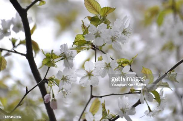 close-up of white cherry blossoms in spring - apple blossom stock pictures, royalty-free photos & images