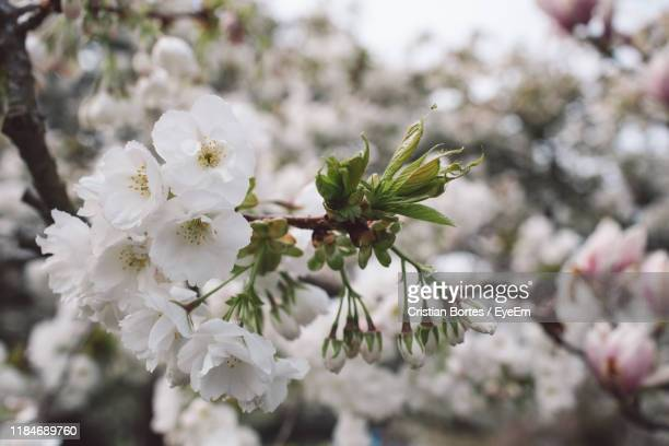close-up of white cherry blossoms in spring - bortes fotografías e imágenes de stock