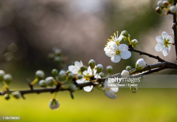 close-up of white cherry blossoms in spring - tetbury stock pictures, royalty-free photos & images