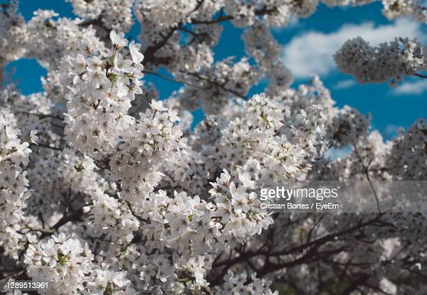 close-up of white cherry blossoms in spring - bortes stock pictures, royalty-free photos & images