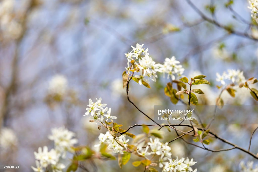 Close-Up Of White Cherry Blossoms In Spring : Stockfoto