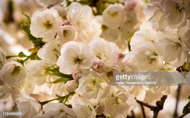close-up of white cherry blossoms on tree - bloesem stockfoto's en -beelden